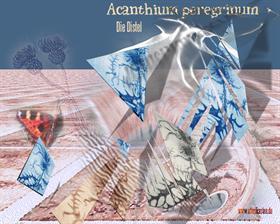 AcanTHiuM peEgrinuM