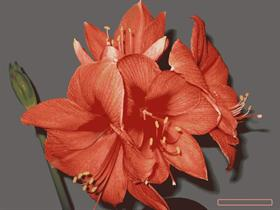 Amaryllis Dark Back