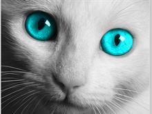 DC Cat