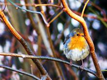 Tree Robin