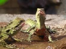 Lizard Feast